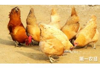 秋季最新的蛋鸡应该怎样催产?