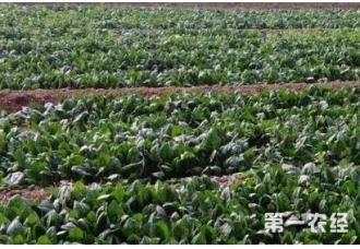 菠菜在秋季的种植技巧