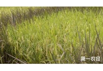 矮化育种提高水稻种植科技的晋升