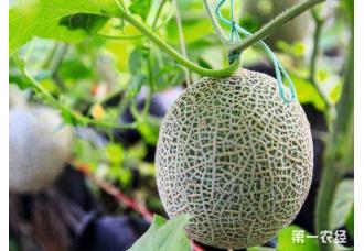 厚皮甜瓜的高产种植方法