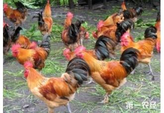 蛋鸡发生互啄癖 我们该如何解决