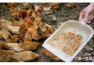昆虫养鸡的技术你知道几点?