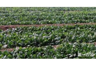 菠菜的种植高产技巧