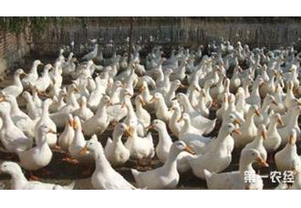 在冬季养鸭要注意哪一些