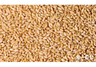 小麦自留应该注意哪些问题?