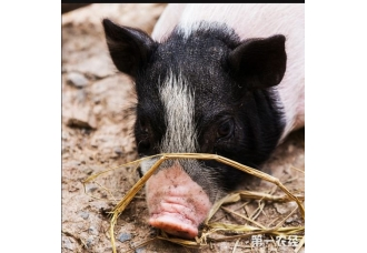 给猪打针和投药的技巧都有哪些呢