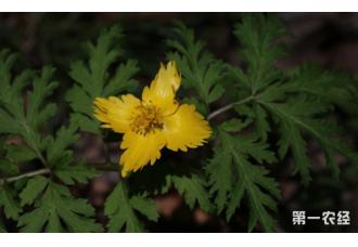 湖北神农架发现荷青花植物新种