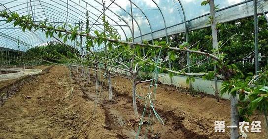 果树的设施栽培你知道是什么吗?