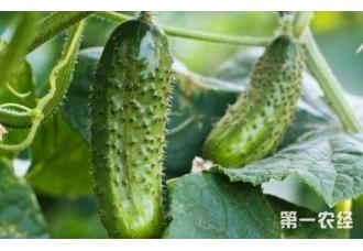种黄瓜出现畸形的现象是怎么回事 要怎么去解决