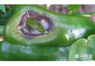 在种植辣椒的过程出现烂果是怎么回事 要怎么办
