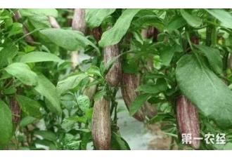 种植茄子出现根腐病要怎么办 怎么去治疗