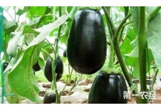 茄子在种植的过程中出现落花的现象是怎么回事