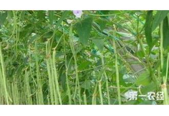 种植豆角常见的一些病害原因解决方法