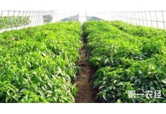 种植大棚蔬菜这一些常见的病害要知道