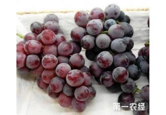 种植葡萄出现白腐病要怎么办