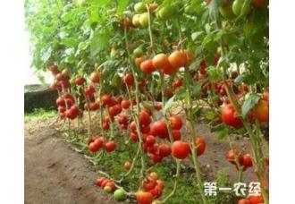 种植番茄出现死棵的现象是怎么回事