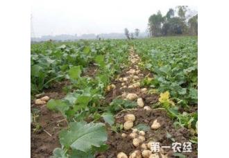 种植马铃薯过程出现腐烂现象该怎么去解决