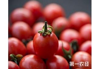 番茄常见的一些病害解决