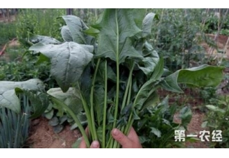 种植菠菜出现叶片变黄该怎么办