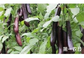 种植茄子低产要怎么办 有哪一些解决方法