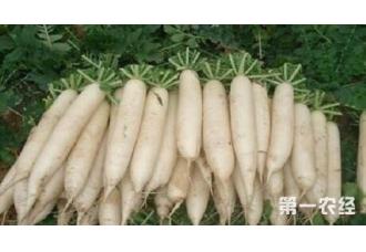 什么时候种植白萝卜为佳 这一些要知道