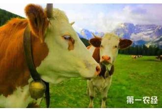 冬季肉牛增膘管理办法都有哪些