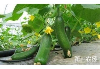 种植黄瓜出现畸形现象是怎么回事