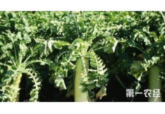 种植萝卜出现霜霉病要怎么去预防治疗