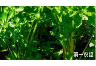种植芹菜出现空心现象要怎么去预防