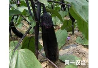 种植茄子出现早衰现象要怎么去预防