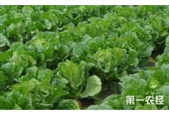 种植大白菜出现不包心现象是怎么回事