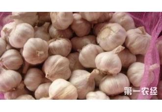 种植大蒜出现病害要怎么去预防