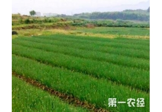 种植大葱常见的一些病害防范