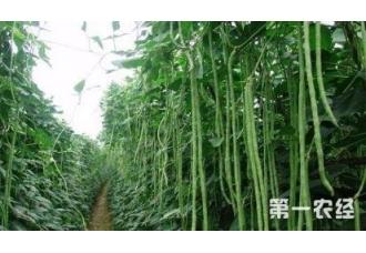 种植豆角常见的一些病害防范