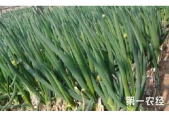 大葱的常见病害防范 这一些要了解