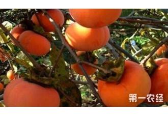 种植柿子出现病害要如何去防范