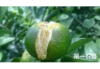 种植柑橘出现裂果要如何解决