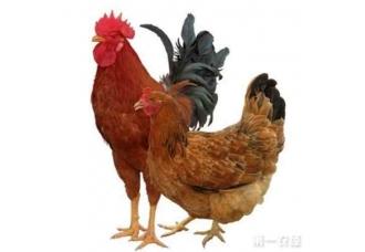 种公鸡和种母鸡的选择,你会选择哪个呢