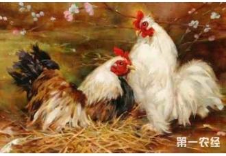 散养土鸡不同阶段的饲料搭配是怎么样的