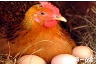 育成鸡对饲料有什么要求呢