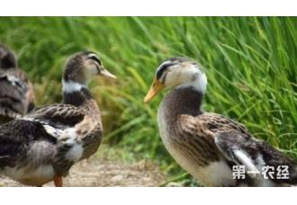 想要养殖鸭子就要知道这一些