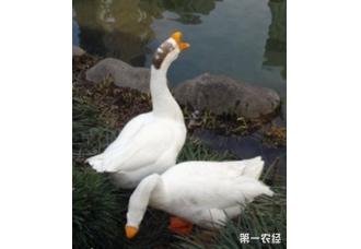 鸭子的育肥办法都有哪些呢