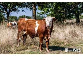 成乳牛阶段的养殖技术要点都有哪些呢