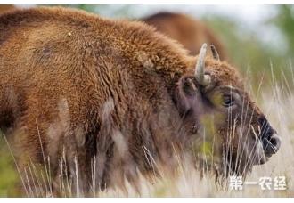 犊牛饲养管理技术要点和常见问题分别讲解
