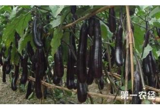 种植茄子常见的病害有哪一些 这一防范要做好