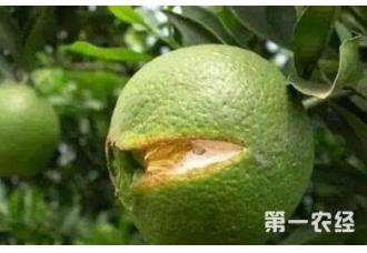 种植柑橘出现裂果现象要怎么去预防