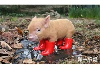 猪增肥的技巧,你都知道吗?
