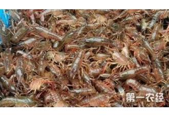 养殖小龙虾要做好哪一些才会增产