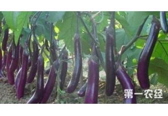 种植茄子常见病害的预防技巧要点