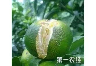柑橘在种植的过程出现裂果现象是怎么回事